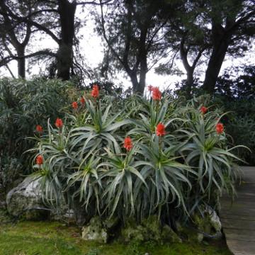 Aloe Arborescens360x360
