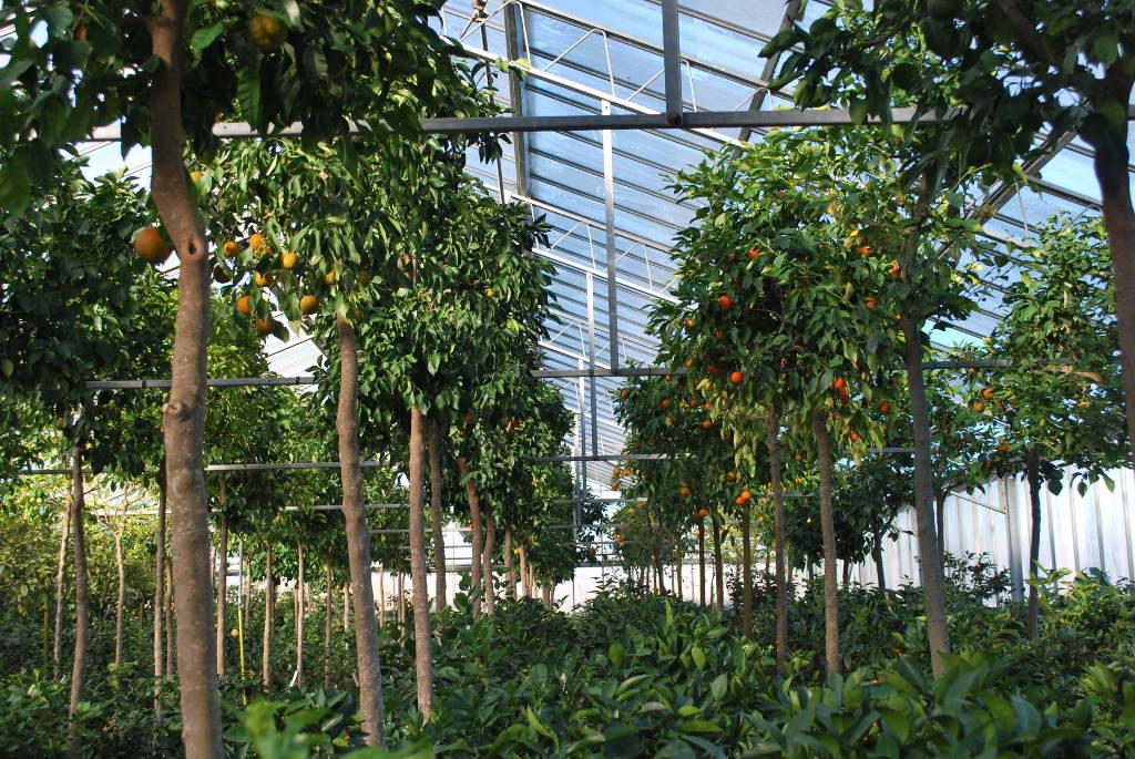 Citrus bigardia