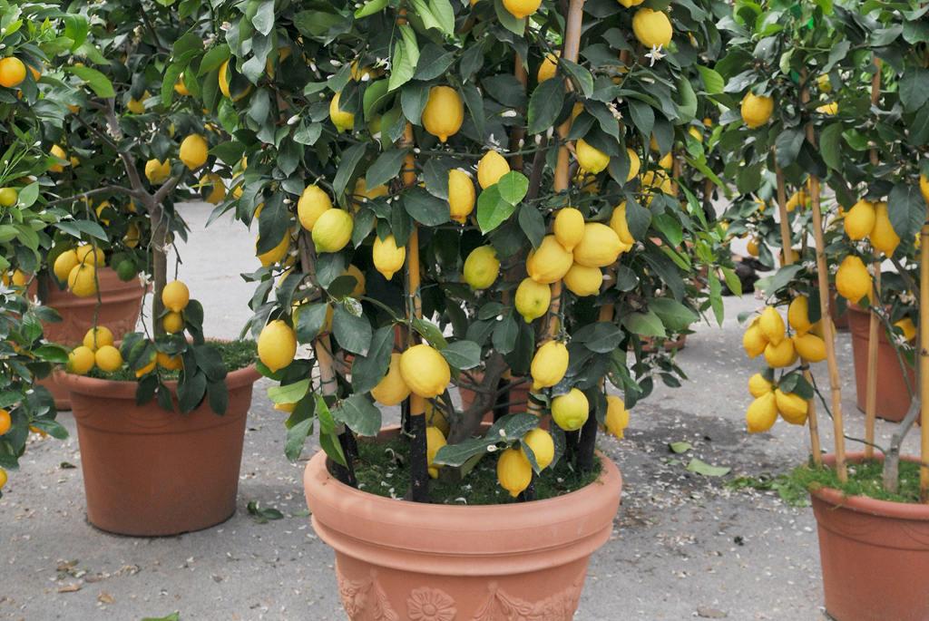 Am nagement jardins r alisation espaces verts p pini res vivai margheriti arbres fruitiers - Maladie des arbres fruitiers ...