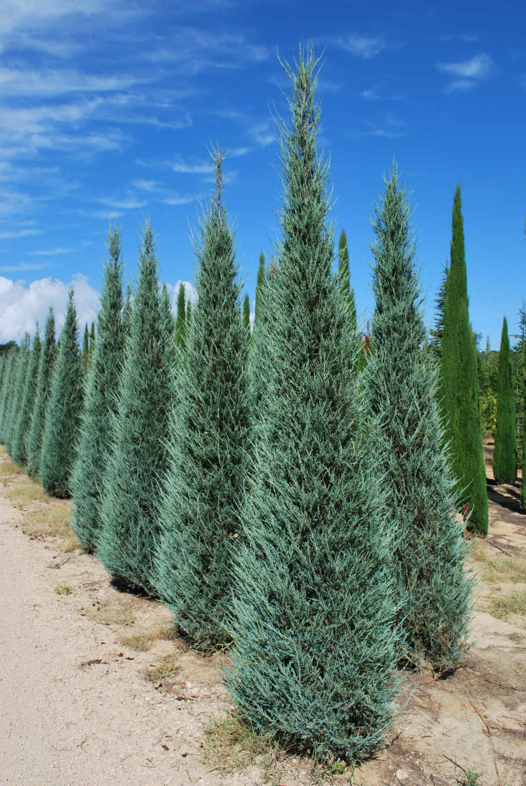 Juniperus scopolorum 'Skyrocket'