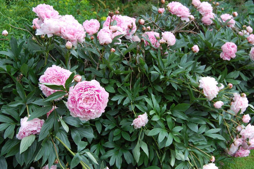 Paeoni suffruticosa 'Sarah Bernhardt'