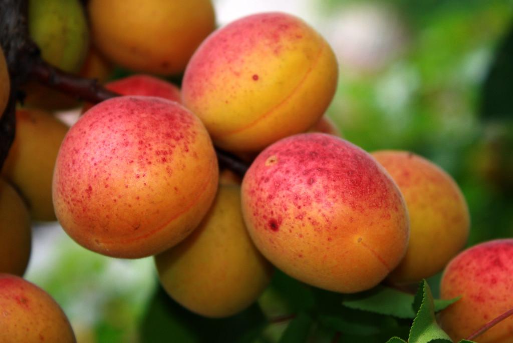 Prunus armeniaca 'Reale d'Imola'