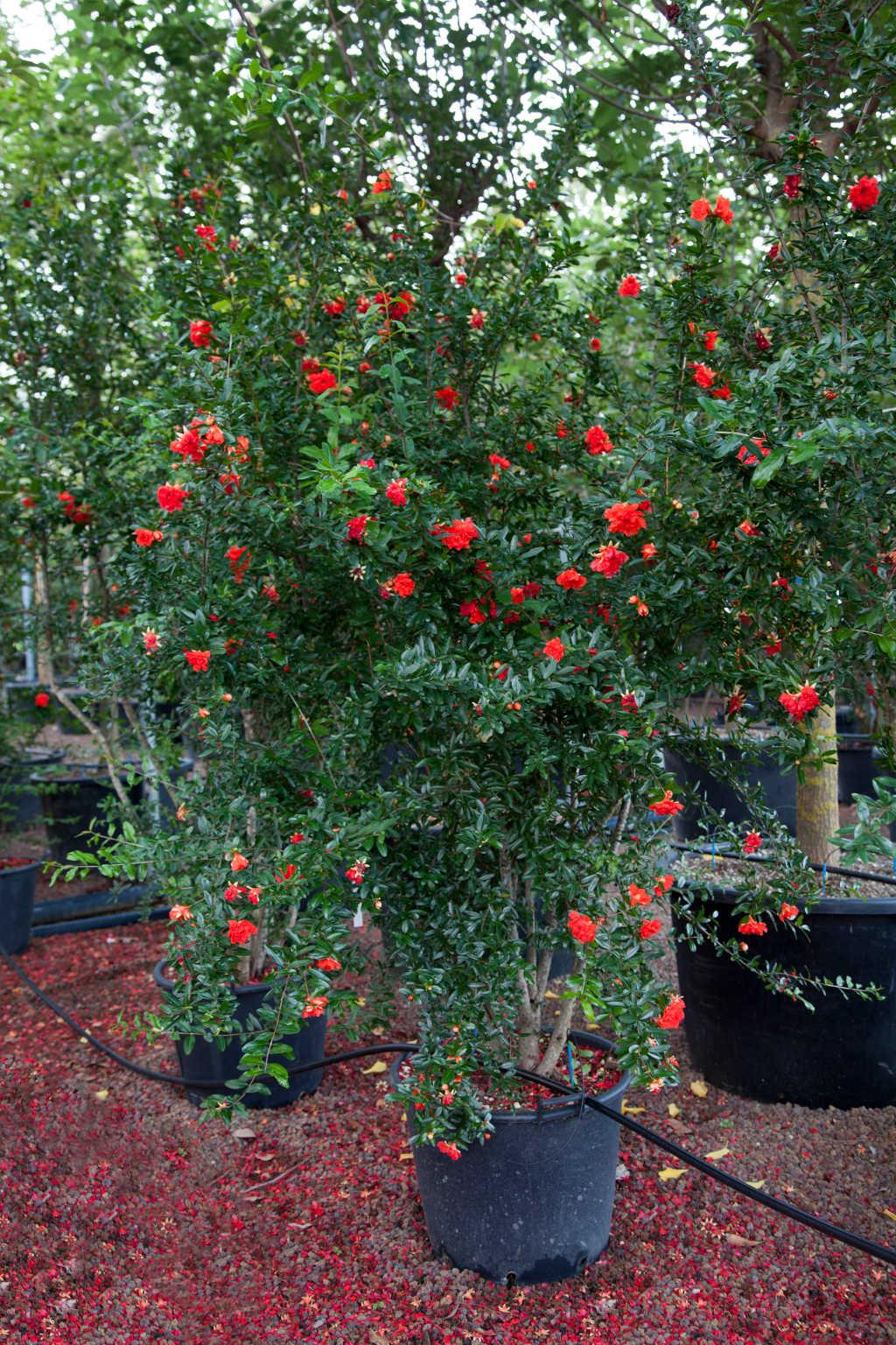 Punica granatum 'Rubrum Flore Pleno'