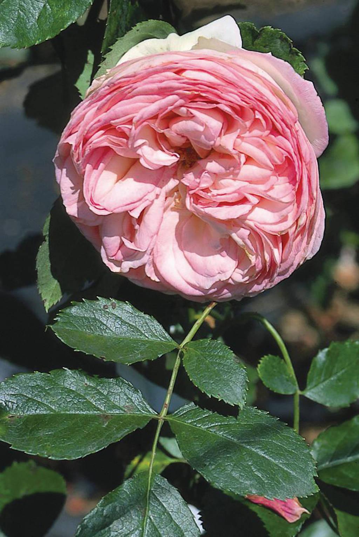 Rosa 'Emanuel'
