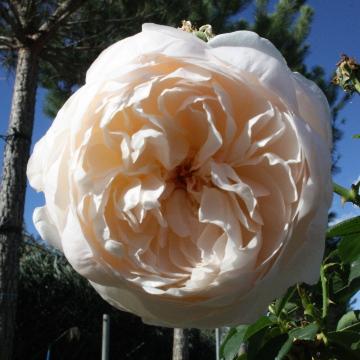 Rosa 'Glamis Castle'_360x360