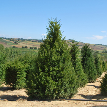 Taxus baccata_360x360